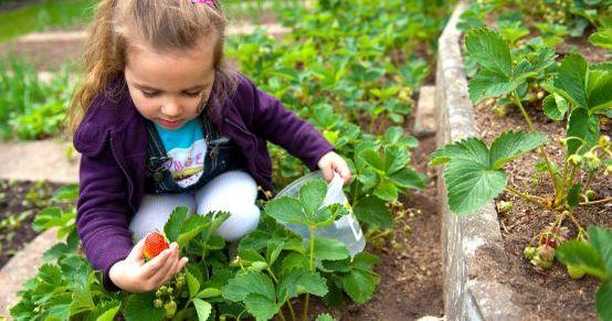 Gärtnern mit Kindern: Erdbeeren anpflanzen